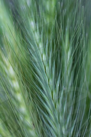 green wheat plants photo