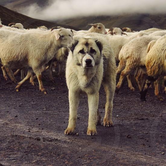 Pure - a Georgian sheep dog protects its flock photo