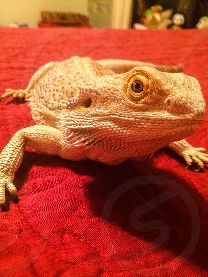 Bearded dragon lizard photo