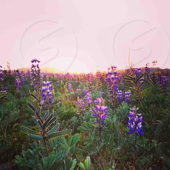 Purple Sunsets. photo