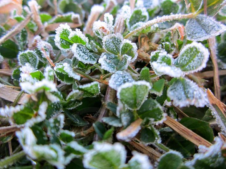 Frozen Clovers photo