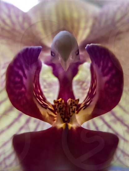 The orchid like a bird flower magenta macro image amazing beauty of nature photo