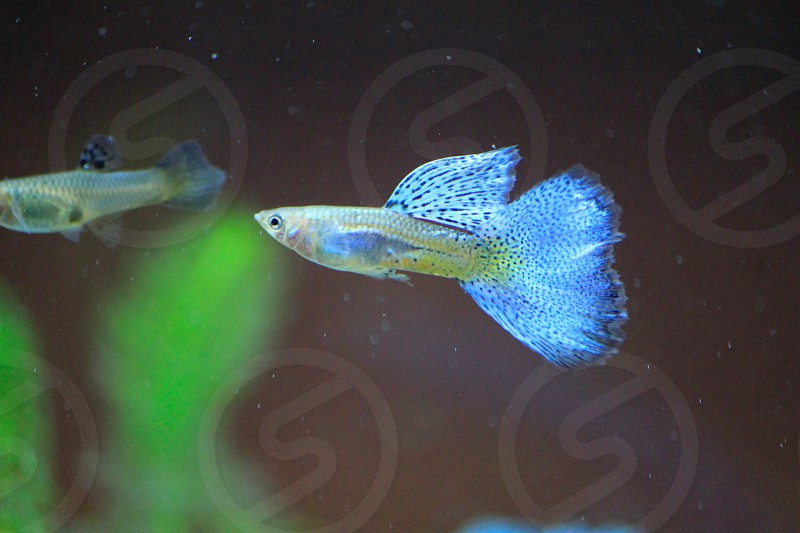 blue fan tail beta fish in water photo
