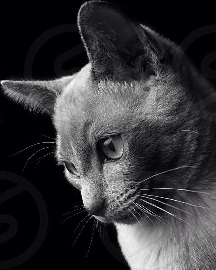 Tonkenise Kitten Cat  photo