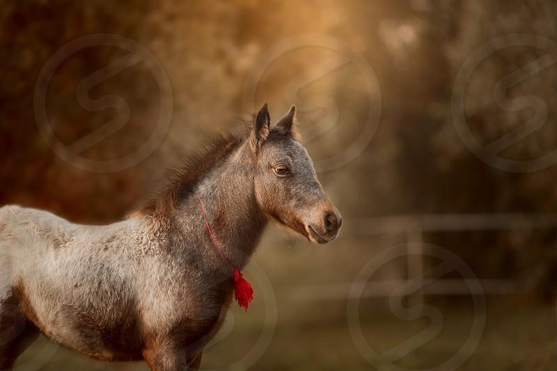 Appaloosa foal photo