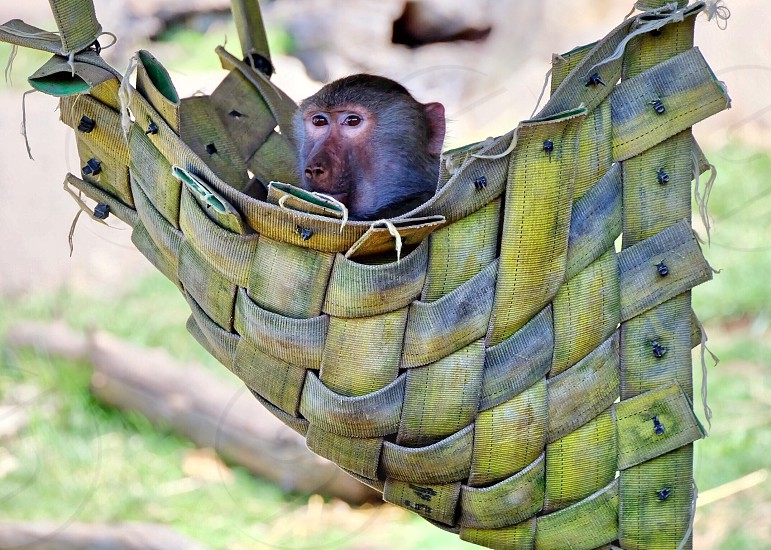 A cute monkey chilling at the zoo. photo