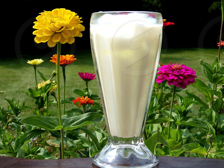 Milk on the Rocks with Zinnias photo