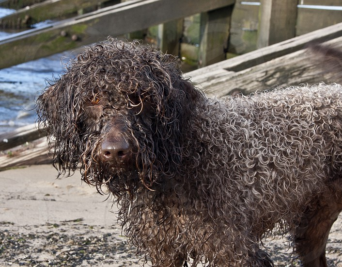 Close-up of wet curly-haired dog on beach looking into lens photo