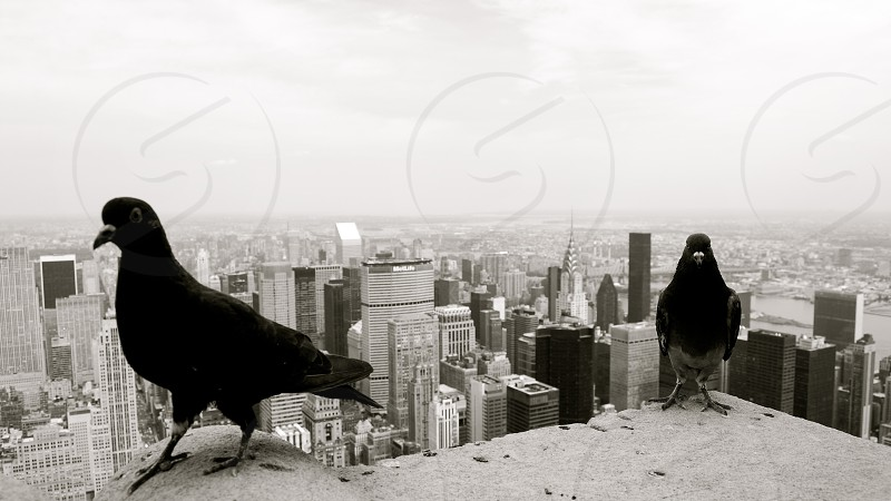Birds on the roof of the Empire State Building New York City photo