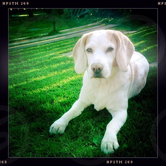 Beagle basking in the sun photo