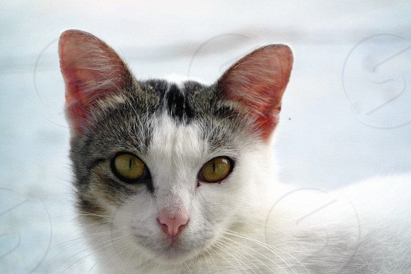 white and black tabby cat photo