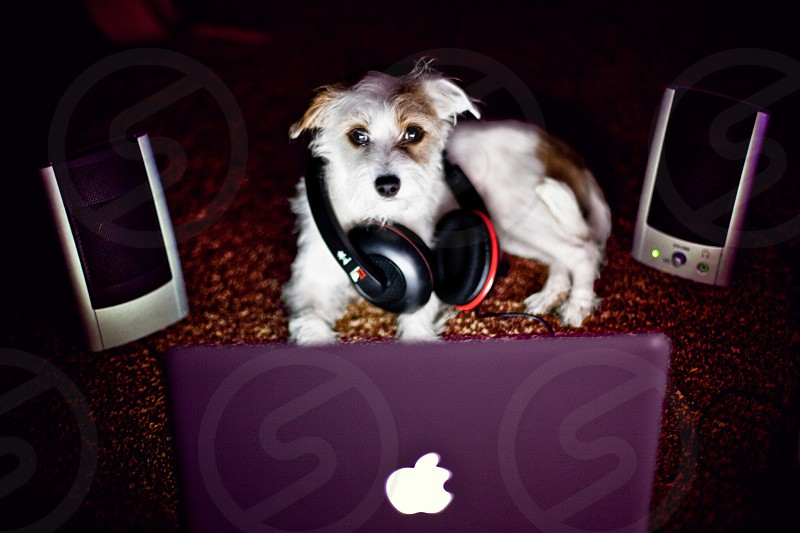 black red headphones around shoulders of white tan small dog facing open macbook between black silver speakers photo