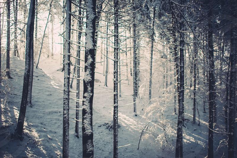 snow light forest photo