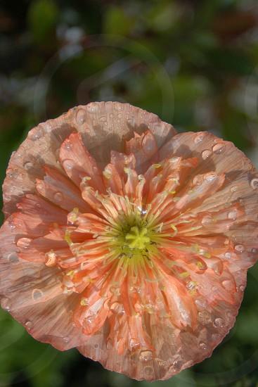Orange Poppy with dew photo
