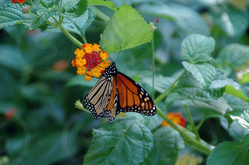 A monarch butterfly in a flower garden photo