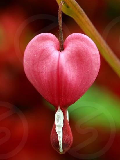 bleeding heart flower valentine shape nature photo