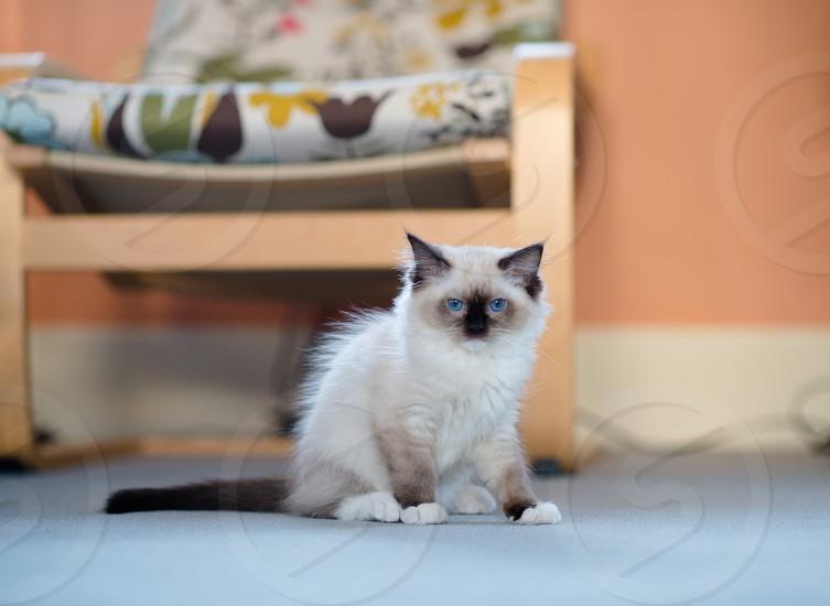 Cat kitten ragdoll photo
