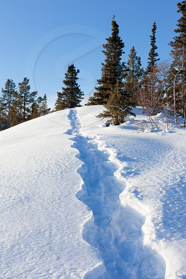 Boreal forest taiga winter landscape with snowshoe tracks in deep snow Yukon Territory Canada photo