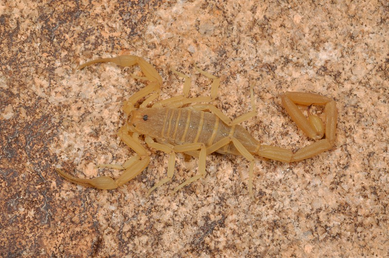 Bark scorpion (Centruroides sculpturatus) from Arizona under normal light.  This image is identical to the adjacent one under black light. photo