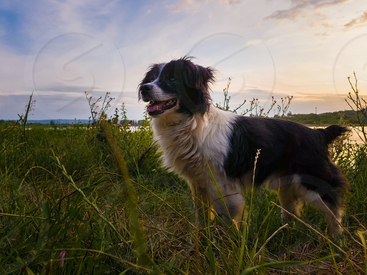 Joyful dog walking outdoors in a summer evening stands on a green grass field looking attentive over sunset background in a countryside place. photo
