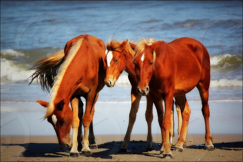 Outer Banks Wild Horses photo