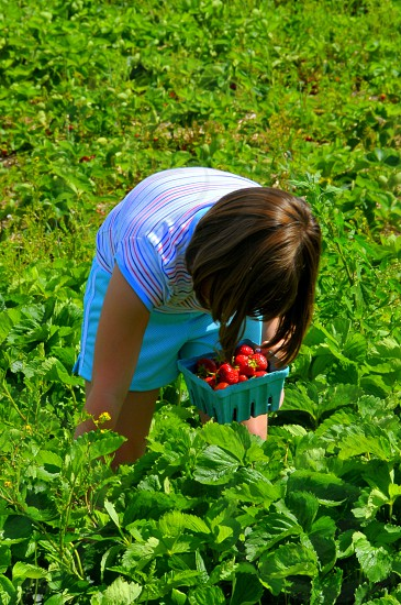 Young girl picking strawberries. photo