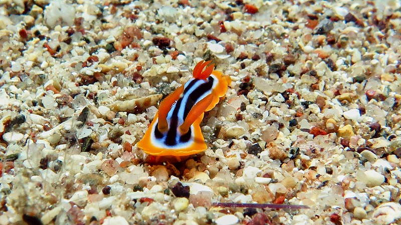 Noody branch snail in Red sea Eilat Israel.                     photo