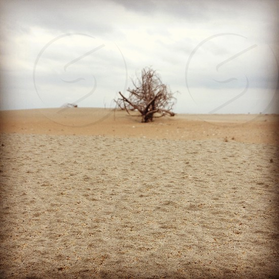 Leafless tree in the sand of the beach.  photo