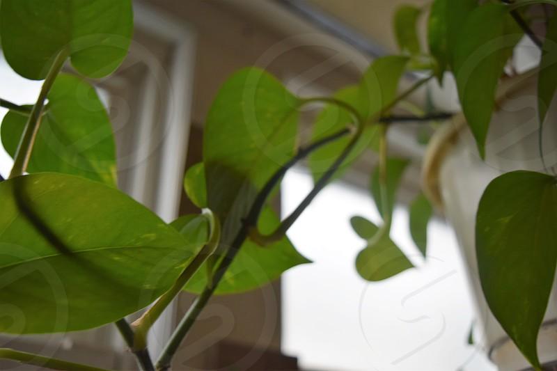 Vine House Plant  photo
