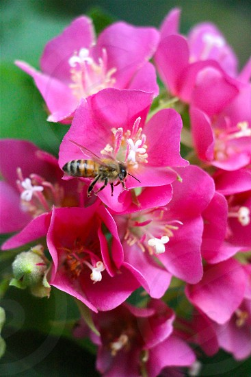 brow and black bees resting on pink flower photo