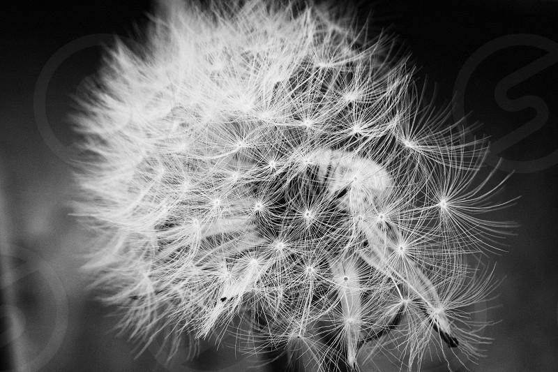 dandelion plant black and white noir photo