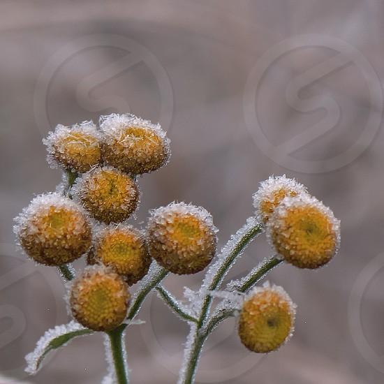 Frozen - winter -cold - macro - nature -flower -yellow  photo