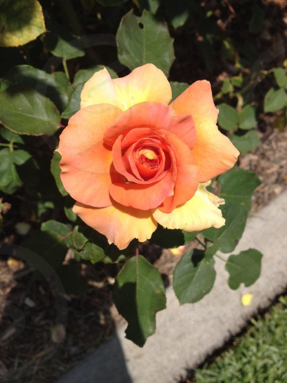 Flower From a Los Angles Rose Garden photo