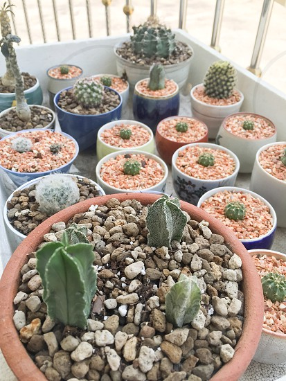 cactus green plant pot nature natural small little tree garden gardening planted photo