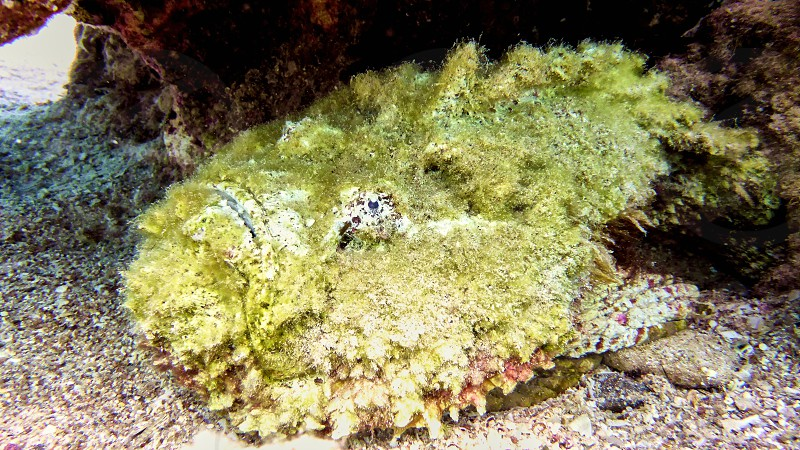 Stone fish in Red sea Eilat Israel.                     photo