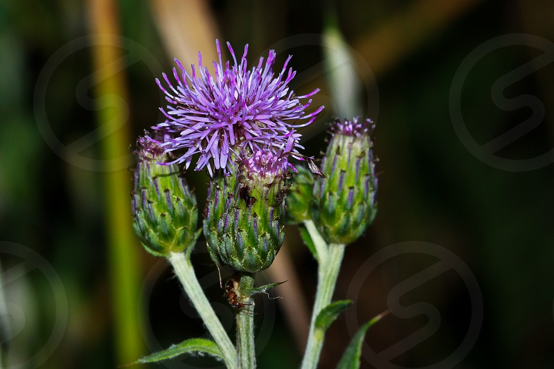 thistle flower in closeup photography photo