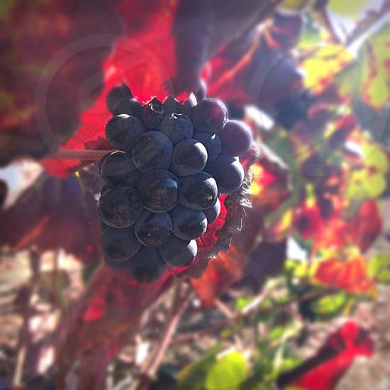 Ready for harvest Napa CA photo