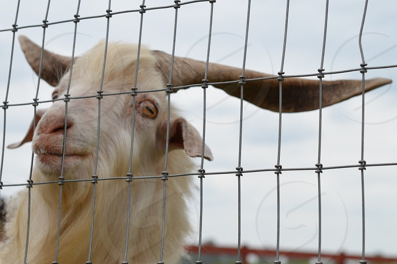 Goat behind wire fence photo