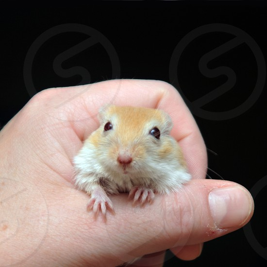Hand holding a gerbil photo