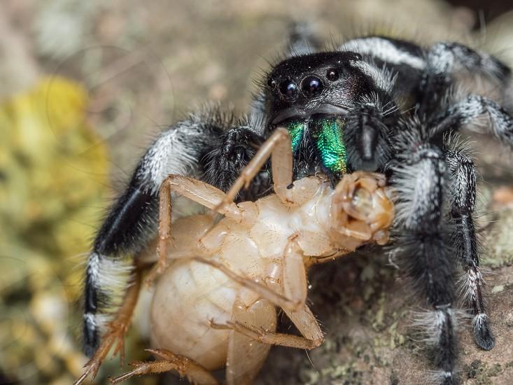 Male Phidippus regius adult feeding on a house cricket photo