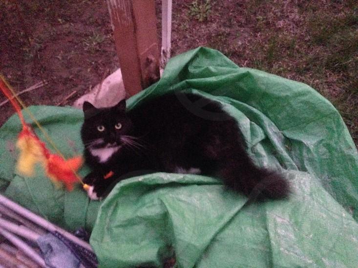 black ragdoll cat lying on green textile photo