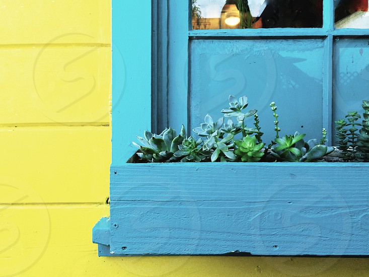 green succulent plants on blue wooden plant box mounted outside of the window of yellow house photo