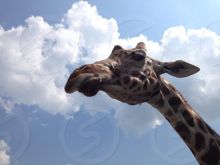 brown and beige giraffe photo