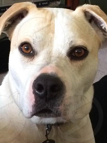Close up of big white dog looking at camera beautiful brown eyes a real sweetheart. photo