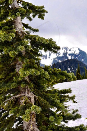 green pine tree photo