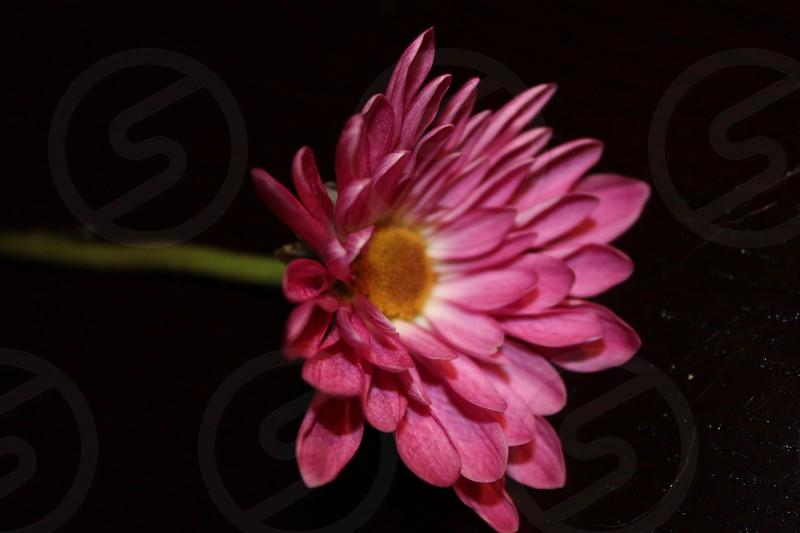 purple gerbera daisy photo