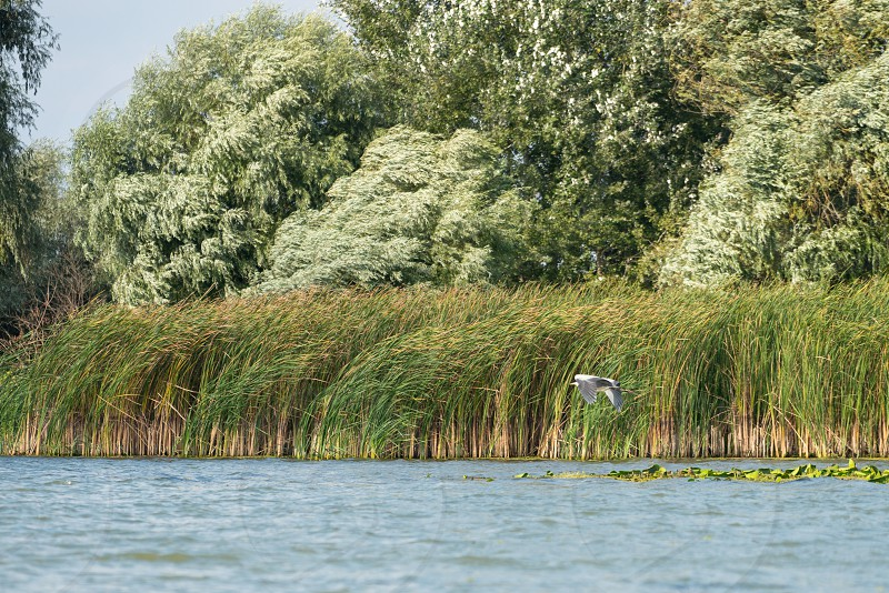 Grey Heron flying along the Danube Delta photo
