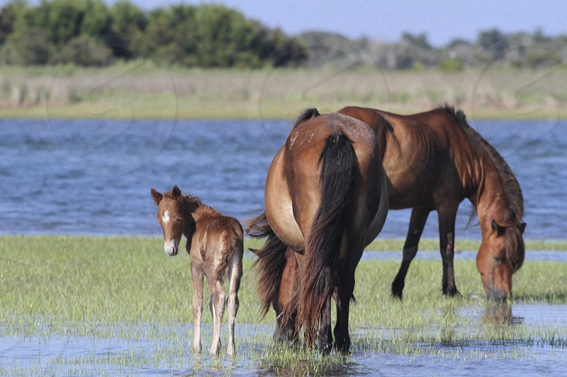 brown horses drinking water photo