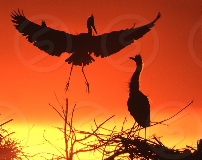 blue heron birds parents surprise greeting silhouette nest landing wings spread colorado heronry usa empty nest photo