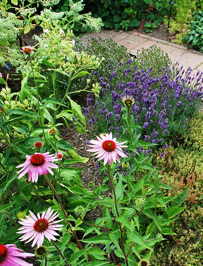 Echinachea & lavender herb patch  photo